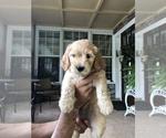Puppy 0 Goldendoodle-Poodle (Miniature) Mix