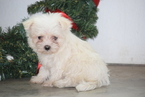 Maltese Puppy For Sale in FREDERICKSBURG, OH, USA
