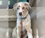 Small Photo #6 Australian Shepherd Puppy For Sale in SPOKANE, WA, USA