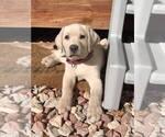 Small #22 Labrador Retriever