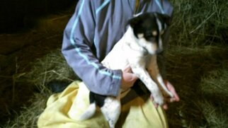 Rat Terrier-Shiba Inu Mix Dog For Adoption in GOSHEN, IN, USA