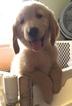 Golden Retriever Puppy For Sale in LANSING, MI, USA