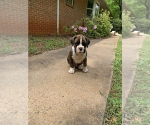 Boxer Puppy for sale in CHARLOTTESVILLE, VA, USA