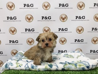 Morkie Puppy For Sale in TEMPLE CITY, CA