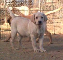Labrador Retriever Puppy For Sale in CALIENTE, CA