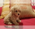 Small Photo #2 Poodle (Miniature) Puppy For Sale in EMPORIA, KS, USA