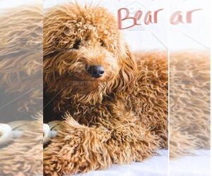 Poodle (Miniature) Puppy for sale in BERLIN, NJ, USA