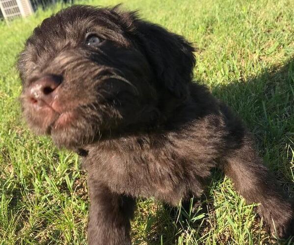 Puppyfindercom View Ad Listing Newfoundland Poodle