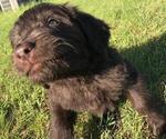 Puppy 4 Newfoundland-Poodle (Standard) Mix
