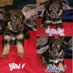 German Shepherd Dog Puppy For Sale in CORINTH, Mississippi,