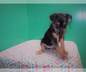Torkie Dog for Adoption in PATERSON, New Jersey USA