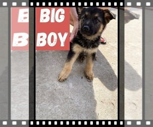 German Shepherd Dog Puppy for sale in SANTEE, SC, USA