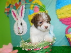 Shih Tzu-Shih-Poo Mix Puppy For Sale in HAMMOND, IN, USA