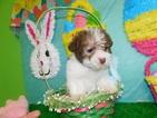 Shih Tzu-Shih-Poo Mix Puppy For Sale in HAMMOND, IN, USA