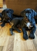 Cane Corso Puppy For Sale in DENVER, CO