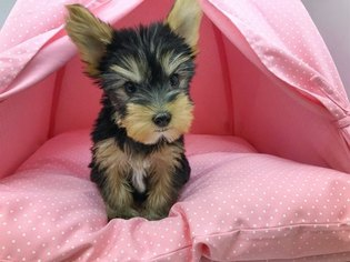 Yorkshire Terrier Adam