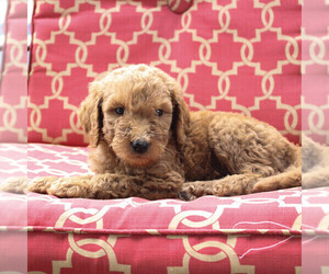 Goldendoodle-Poodle (Standard) Mix Puppy for sale in PARADISE, PA, USA