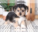 Manny Adorable Male Shorkie Puppy