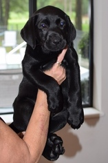 Labrador Retriever Puppy for sale in CRYSTAL RIVER, FL, USA