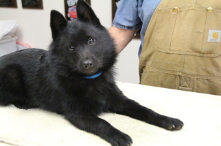 View Ad Schipperke Puppy For Sale Near Maryland Annapolis Usa