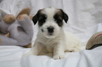 Jack Russell Terrier Puppy For Sale in BROKEN BOW, OK, USA