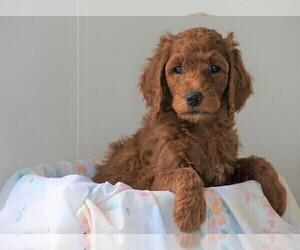 Medium Poodle (Standard)