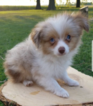 Miniature Australian Shepherd Puppy For Sale in MC LEAN, IL,