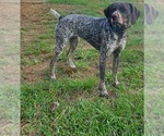 Small #5 German Shorthaired Pointer