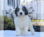 Small #1 English Springer Spaniel-Poodle (Miniature) Mix