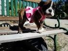 English Bulldogge Puppy For Sale in LOS ANGELES, CA