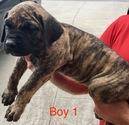 Presa Canario Puppy For Sale in BEULAVILLE, NC