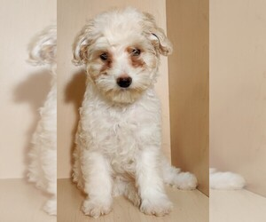 Maltipoo Puppy for sale in SAN DIEGO, CA, USA