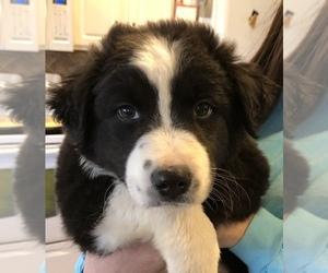 Australian Shepherd Puppy for sale in CHAPMANSBORO, TN, USA