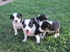 Miniature Australian Shepherd Puppy For Sale in CROWLEY, TX, USA