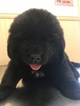 Newfoundland Puppy For Sale in NORWOOD, NY,