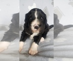 Small #8 Aussiedoodle-Poodle (Standard) Mix