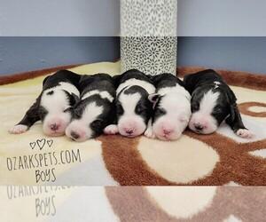 Sheepadoodle Puppy for Sale in CEDAR GAP, Missouri USA