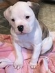 American Bulldog Puppy For Sale in IOWA FALLS, IA