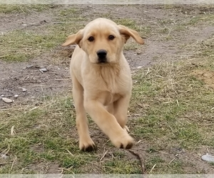 Labrador Retriever Puppy for Sale in TWIN FALLS, Idaho USA