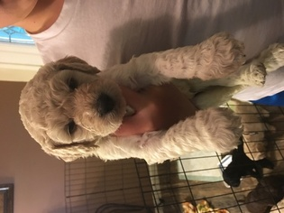 Labradoodle Puppy For Sale in SIBLEY, LA, USA