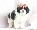 Puppy 5 Maltese