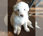 Small Photo #6 Pyredoodle Puppy For Sale in MARION, TX, USA