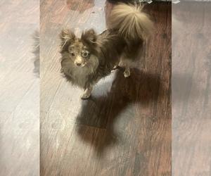 Chiranian Puppy for Sale in WAKE FOREST, North Carolina USA