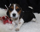 Beagle Puppy For Sale in THAYER, MO, USA