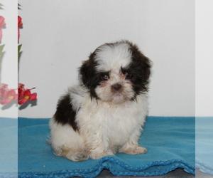 Zuchon Dog for Adoption in QUARRYVILLE, Pennsylvania USA