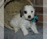 Small Poodle (Miniature)
