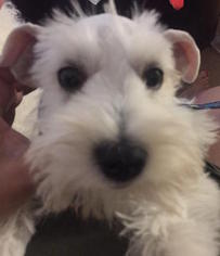 Schnauzer (Miniature) Puppy For Sale in MOUNTAIN VIEW, CA