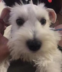 Schnauzer (Miniature) Puppy For Sale in MOUNTAIN VIEW, CA, USA