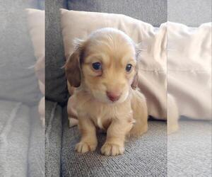 Dachshund Puppy for Sale in FEDERAL HEIGHTS, Colorado USA