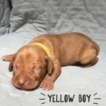 Yellow Boy
